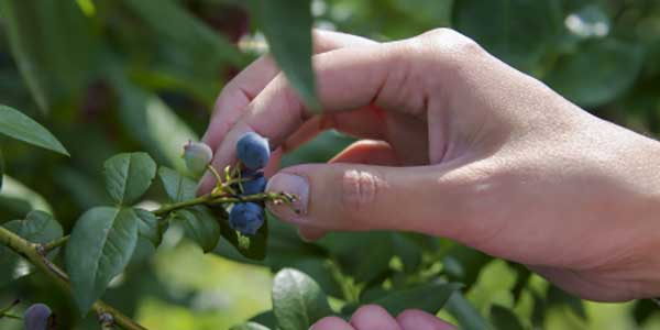 U-Pick Blueberries in Grand Haven